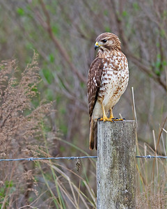 red-shouldered hawk, juvenile, January in Viera Wetlands, Viera, FL