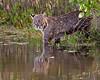 bobcat, Merritt Island National Wildlife Refuge, FL in January