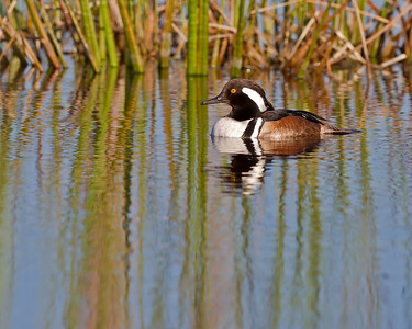 hooded merganser, Viera Wetlands, FL in January
