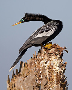anhinga male in breeding colors, Viera Wetlands, FL in January