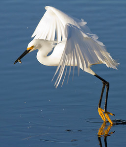 snowy egret with fish, Viera Wetlands, FL in January