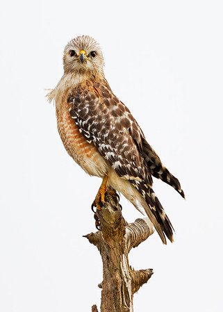 red-shouldered hawk, Viera Wetlands, FL in January