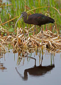 glossy ibis, Viera Wetlands, FL in January