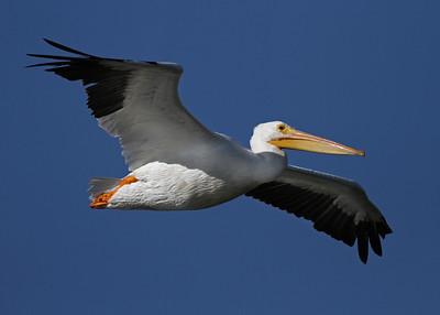 white pelican, December in Merritt Island National Wildlife Refuge, FL