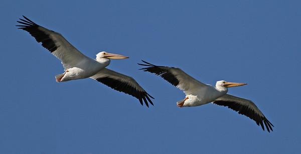 white pelicans, December in Merritt Island National Wildlife Refuge, FL