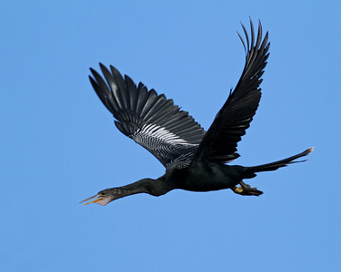 anhinga, West County Water Treatment Facility, Vero Beach, FL