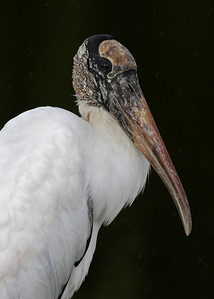wood stork, December in Merritt Island National Wildlife Refuge, FL