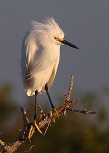 snowy egret, December in Merritt Island National Wildlife Refuge, FL