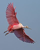 roseate spoonbill, December in Merritt Island National Wildlife Refuge, FL