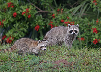 raccoons hunting, West County Water Treatment Facility, Vero Beach, FL