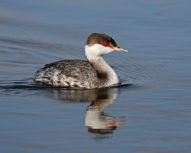 horned grebe, December in Merritt Island National Wildlife Refuge, FL