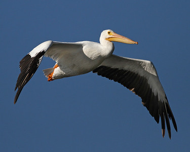 white pelican, December in Merritt Island National Wildlife Refuge, FL