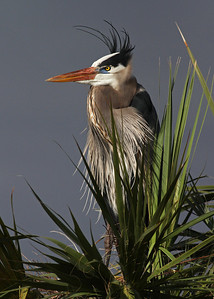 great blue heron, December in Vierra Wetlands, Melbourne, FL