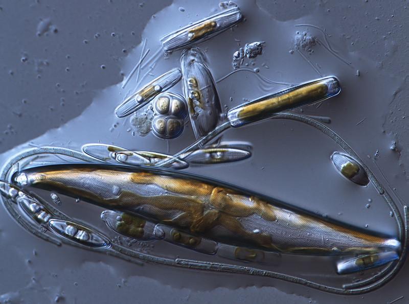 Pleurosigma y otras diatomeas atrapadas en una gota de agua. Laguna-estero en Pinar de La Algaida de Puerto Real
