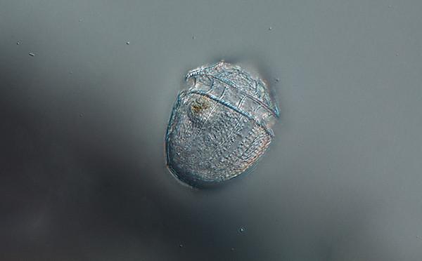Corythodinium sp (Mid Atlantic)