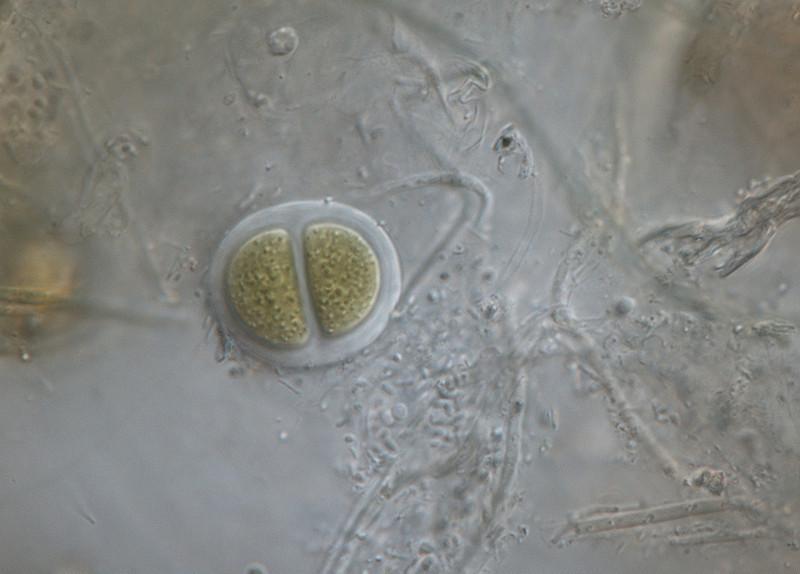 Chroococcus turgidus. Laguna-estero en Pinar de La Algaida de Puerto Real