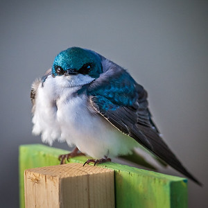 Grumpy Tree Swallow