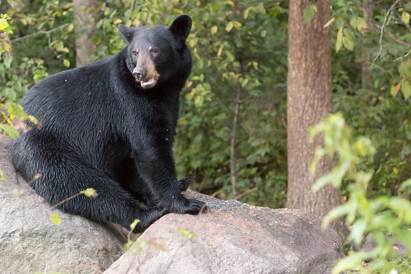 Minnesota Bear visit