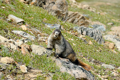 Marmots, Skyline Trail, Backpacking, July 2008