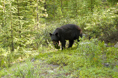 Black Bear, Skyline Trail, Backpacking, July 2008