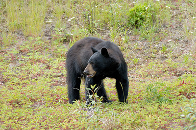 Black Bear Alaska Highway Liard River to Watson Lake