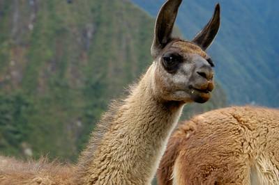 Llama at Machu Picchu, Peru November 2007