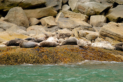 Harbor Seals Skagway Fishing Charter