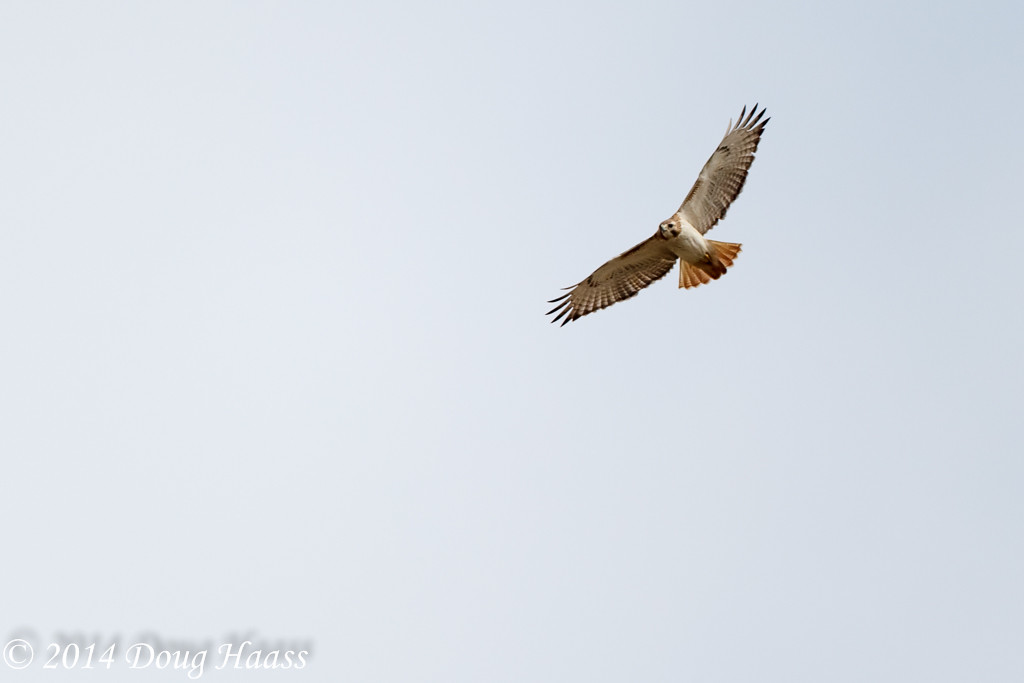 Red-tailed Hawk Buteo jamaicensis from backyard