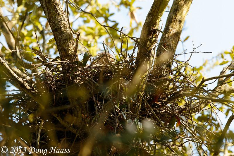 Cooper's Hawk Accipiter cooperii female on nest