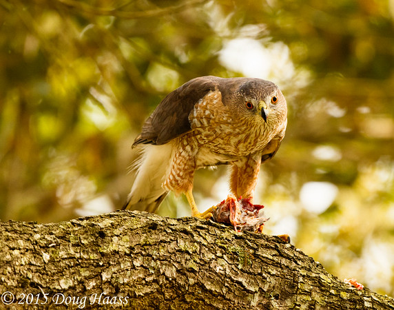 Cooper's Hawk Accipiter cooperii female eating a bird