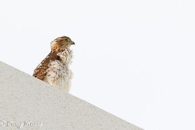 Juvenile Cooper's Hawk Accipiter cooperii