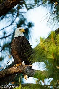Adult Bald Eagle Haliaeetus leucocephalus