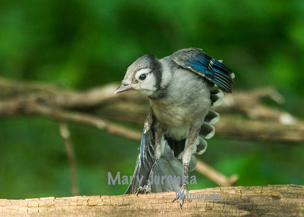 These Blue jay babies were photographed at Brookside Park in Ames, Iowa.  They were not yet able to fly but could hop great distances!  In between hops, they took naps.