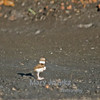 This killdeer baby was born just a few hours before this picture was taken.