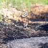 Killdeer parent with a hatchling