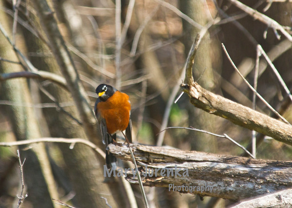 Robin at Inis Grove Park in Ames, Iowa