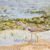 Sandpiper at Sand Point in Frontenac State Park