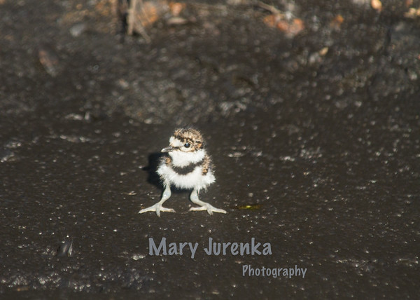 This killdeer baby hatched about two hours before this picture was taken.   Killdeer are precocial which means they are very developed when they hatch.  Killdeer babies are able to walk or run as soon as they have hatched. This was taken in Ames, Iowa near a city park.