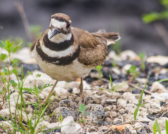 This is a killdeer guarding eggs.  Killdeer lay their eggs in plain sight but in places where the eggs are camouflaged.