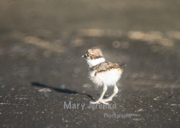 This killdeer baby hatched about two hours before this picture was taken.