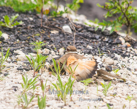 """This killdeer is """"faking"""" a broken wing.  Killdeer do this to lead predators away from their nests."""