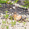 "This killdeer is ""faking"" a broken wing.  Killdeer do this to lead predators away from their nests."