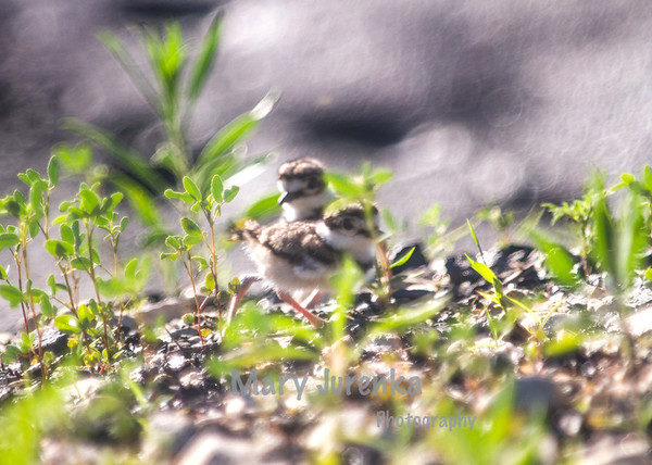 Those one-day old killdeer hatched on a gravel road with a pile of coal in its center.  The circular highlights are the specular highlights of the coal at 300mm.