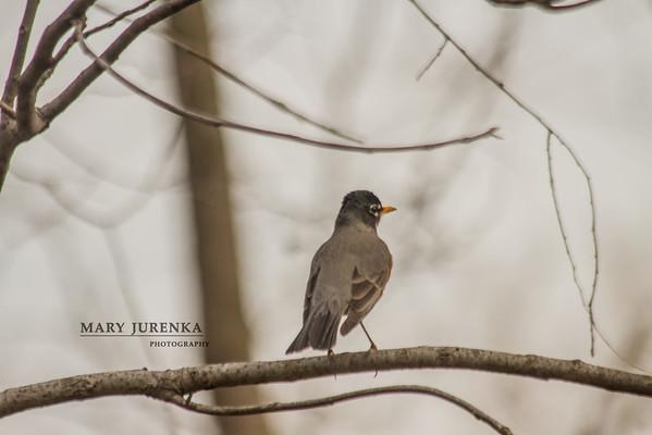 robin, Peterson Park,  Ames, Iowa, Story County Iowa, birds, nature, scenic
