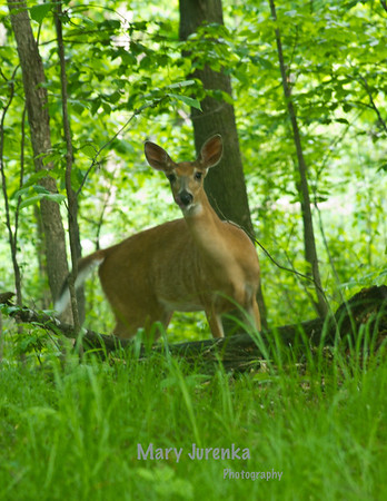 Deer , Squirrels, and Other Animals