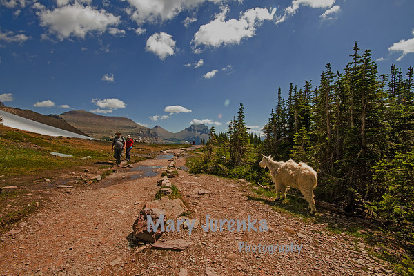 Tourists are surprised by this mountain goat as they climb Logan's Pass in Glacier National Park