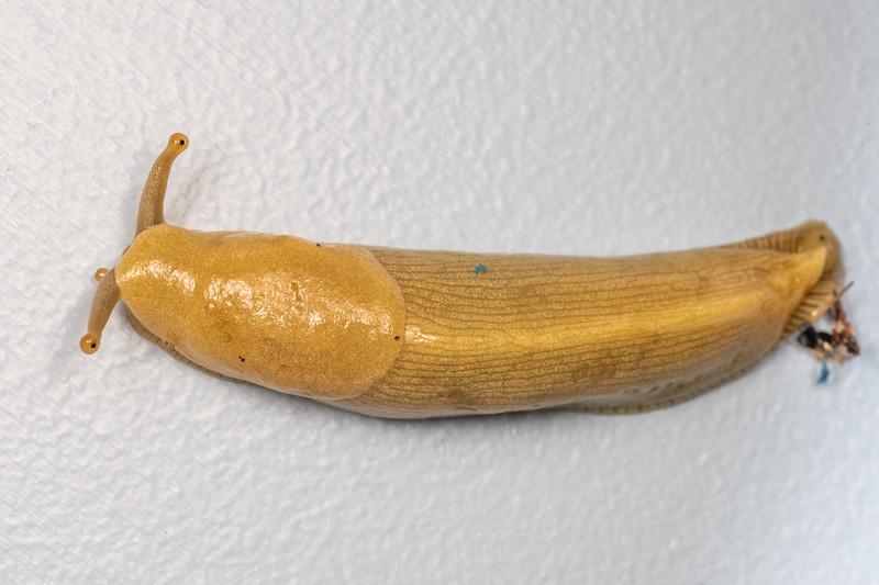 Pacific banana slug (Ariolimax columbianus). Patricks Point, Humboldt County, California.