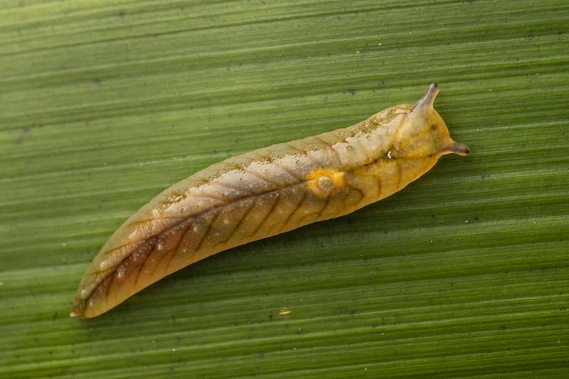 Leaf-veined slug (Athoracophorus bitentaculatus). The Pinnacles, Coromandel.