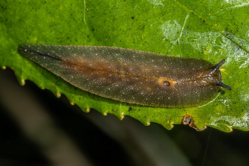 Leaf-veined slug (Athoracophorus bitentaculatus). Mangahopue Arch Track, Waitomo.