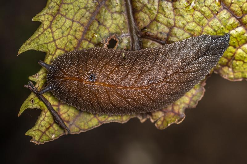 Leaf-veined slug (Athoracophorus bitentaculatus). Ruakuri Track, Waitomo.